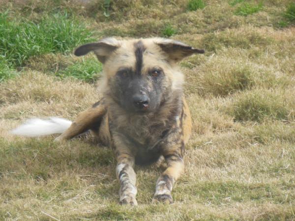 African Wild Dog Looking at You