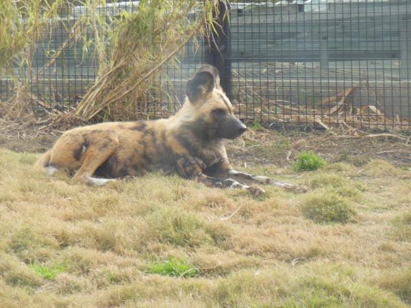 African Wild Dog Basking