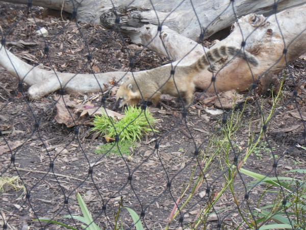 Coati rummaging on the ground