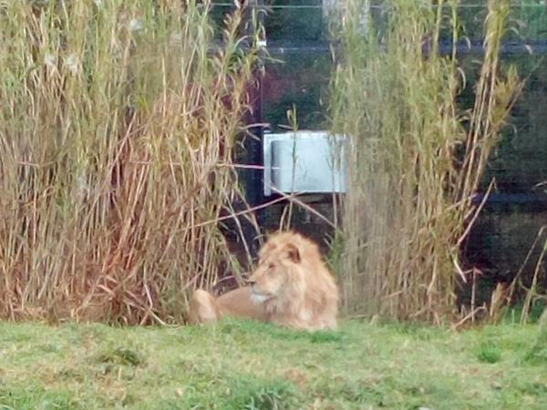 King Leo the Lion