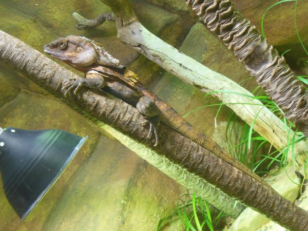 Lizard in a tree