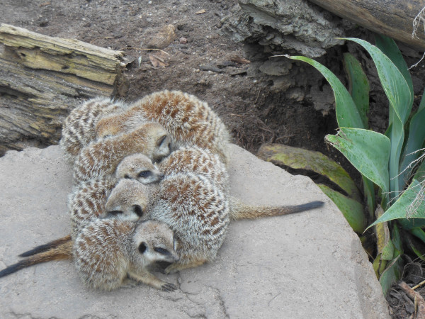 Meercats huddling against the cold
