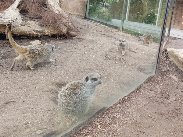 Meercats in their clear perspex enclosure
