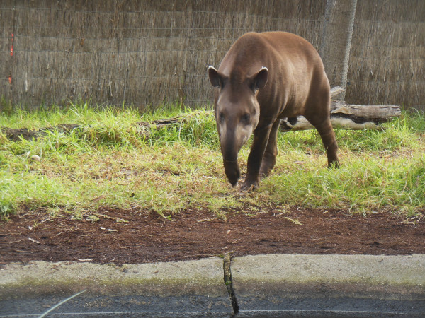 A Tapir grazing