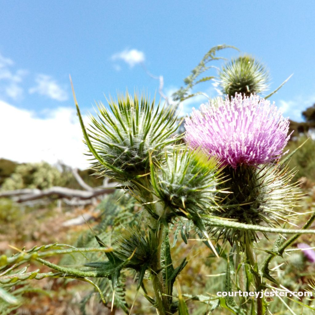 Thistle in Narawntapu National Park